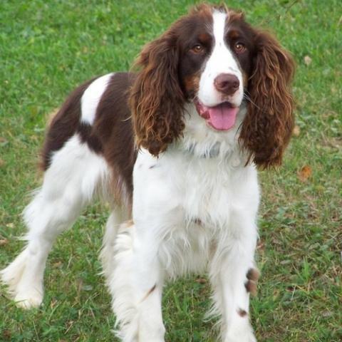 english-springer-spaniel-dog-breed-info.jpg.3dd0cac307f5d42018f48fe79f3446e4.jpg